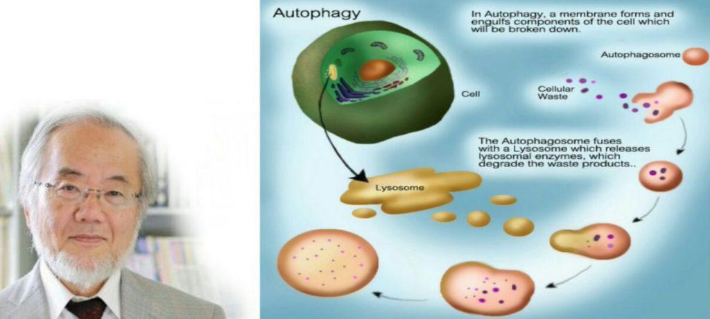 Аутофагия и голодание
